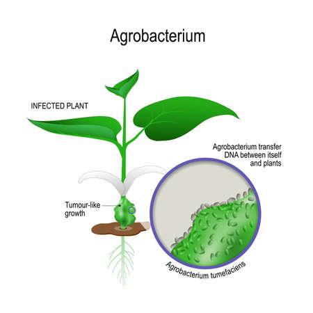 infizierte Pflanze und Nahaufnahme von Agrobacterium tumefaciens. agrobacterium überträgt DNA zwischen sich selbst und Pflanzen. Gentechnik. Vektorillustration für biologische, wissenschaftliche und medizinische Zwecke. Vektorgrafik