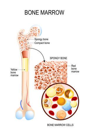 Médula ósea (amarilla, roja) y células sanguíneas (eritrocitos, linfocitos, monocitos, esinófilos, basófilos, neurófilos). Diagrama vectorial para su diseño, educativo, biológico, científico y médico. Ilustración de vector