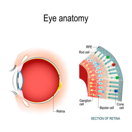 Eye anatomy. Rod cells and cone cells. The arrangement of retinal cells is shown in a cross section. Vector diagram for your design, educational, biological, science and medical use