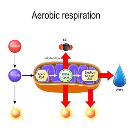Respiración aeróbica. Respiración celular. El piruvato ingresa a las mitocondrias para ser oxidado por el ciclo de Krebs. Los productos de este proceso son el dióxido de carbono, el agua y la energía. Diagrama vectorial para uso educativo, biológico, científico y médico.