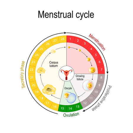 Menstrual cycle chart. increase and decrease of the hormones. The graph also depicts the growth of the follicle. Fluctuation of hormones that occurs during menstruation cycle. Vector illustration for educational, biological, science and medical use