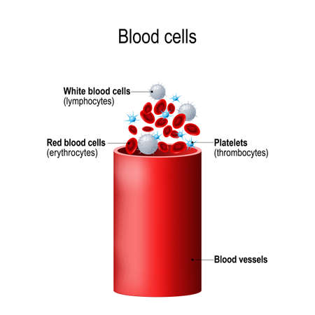 Blood cells and blood vessel. formed elements: platelets (thrombocytes), white blood cells (lymphocytes), red blood cells (erythrocytes)