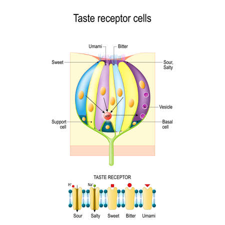Kubek smakowy z komórkami receptorowymi. Rodzaje receptorów smaku. Błona komórkowa i kanały jonowe dla kwaśnych, słonych, słodkich, umami. Powyższy diagram przedstawia ścieżkę transdukcji sygnału dla różnych smaków.