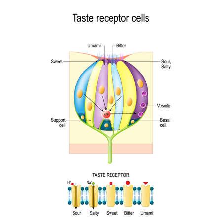 Papilas gustativas con células receptoras. Tipos de receptores gustativos. Membrana celular y canales iónicos para ácido, salado, dulce, umami. Este diagrama anterior muestra la vía de transducción de señales de los diferentes gustos.