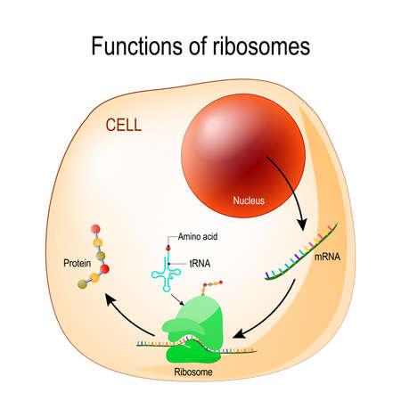 función de los ribosomas. Célula con orgánulos: núcleo, mrna, proteínas, tRNA y ribosoma. Proceso de traducción de ARNm en proteína. vector para uso médico, educativo, biológico y científico.