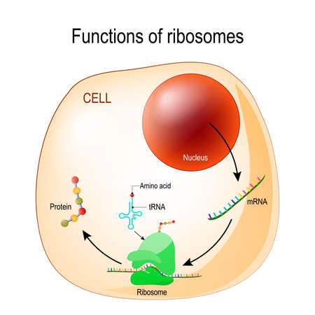 function of ribosomes. Cell with organelles: nucleus, mrna, proteins, tRNA and Ribosome. Process of translating mRNA into protein. vector for medical, educational, biologycal and science use