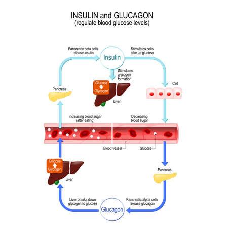 Glucose (sucre simple utilisé par les cellules), glucagon (hormone de contrôle de la glycémie et de l'apport énergétique) et insuline (hormone qui régule le métabolisme des glucides, des graisses et des protéines). Foie et pancréas