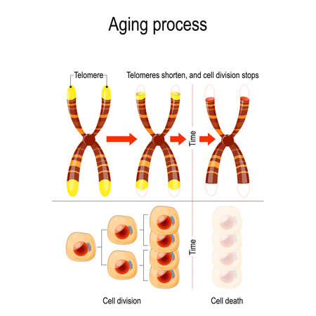 Aging process. A telomere located at the ends of chromosomes. Each time a cell divides, the telomeres become shorter. vector for medical, educational, biologycal and science use
