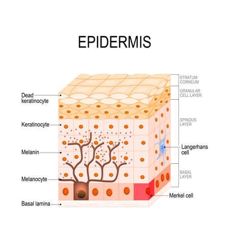 structure de l'épiderme. Cellule et couches d'une peau humaine. illustration vectorielle à usage médical, éducatif, biologique et scientifique. Soin de la peau