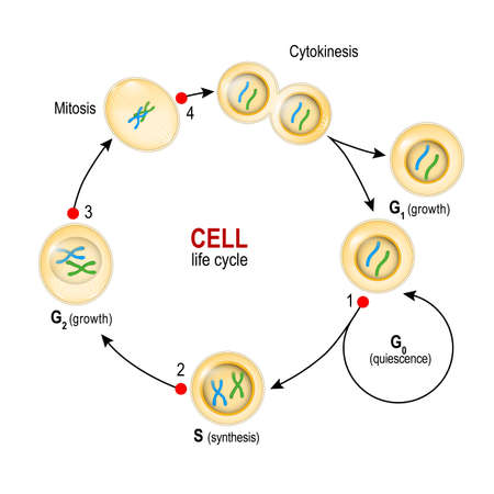 Cell Cycle. from quiescence, Growth and DNA replication to Mitosis and Cytokinesis. Checkpoints: DNA damage, Spindle checkpoint, Restriction point. Vector illustration for biology, educational, medical and science use Illustration