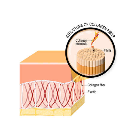 collagen fibers in a skin. Close-up of collagen molecule. Vector illustration for your design, educational, biology, scientific, and medical use.