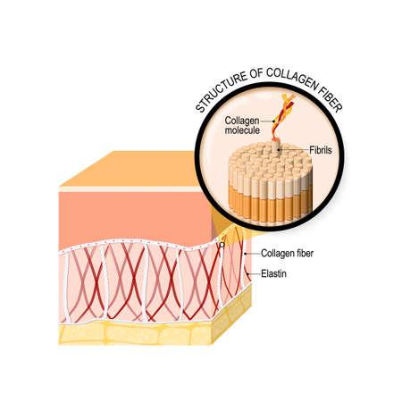 Kollagenfasern in einer Haut. Nahaufnahme des Kollagenmoleküls. Vektorgrafik für Ihr Design, Bildung, Biologie, wissenschaftliche und medizinische Verwendung. Vektorgrafik