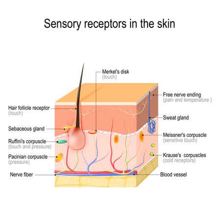 receptores sensoriales en la piel. La presión, la vibración, la temperatura, el dolor y la picazón se transmiten a través de nervios y órganos receptores especiales. Ilustración de vector para uso biológico, científico, médico y educativo.