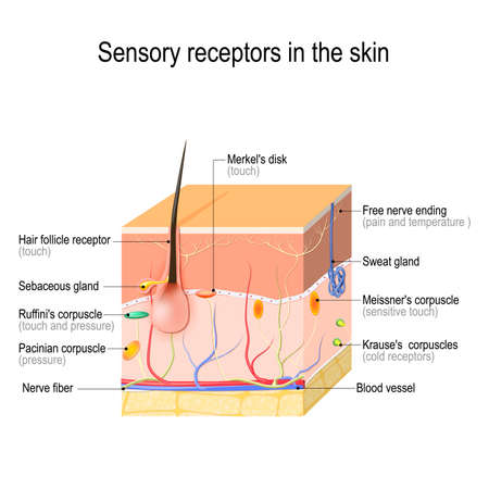 sensory receptors in the skin. Pressure, vibration, temperature, pain and itching are transmitted via special receptory organs and nerves. Vector illustration for biological, science, medical and educational use. Illustration