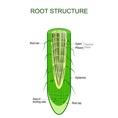 Root structure. Plant anatomy. The cross-section of the root with area of dividing cells, Xylem, Phloem, cap, epidermis, and hairs. Vector illustration for biological, science,  and educational use. Фото со стока - 119628130