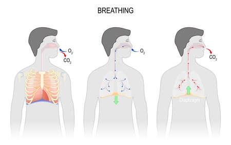 Cyclus van ademhaling, inspiratie en expiratie. anatomie van het ademhalingssysteem. diafragma functies. illustratie voor medisch, wetenschappelijk en educatief gebruik