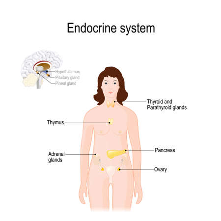 endocrine system. for woman. Closeup of endocrine glands in a brain. Human anatomy. Female silhouette with highlighted internal organs. Vector illustration for biological, medical, science and educational use. Illustration