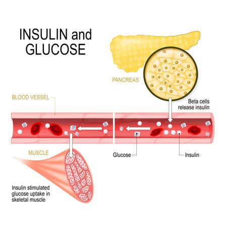 insulina y glucosa. Las células beta (en el páncreas) liberan insulina en los vasos sanguíneos. La insulina estimula la absorción de glucosa en el músculo esquelético. Primer plano del páncreas y los islotes de Langerhans. Ilustración vectorial para uso biológico, médico, científico y educativo.