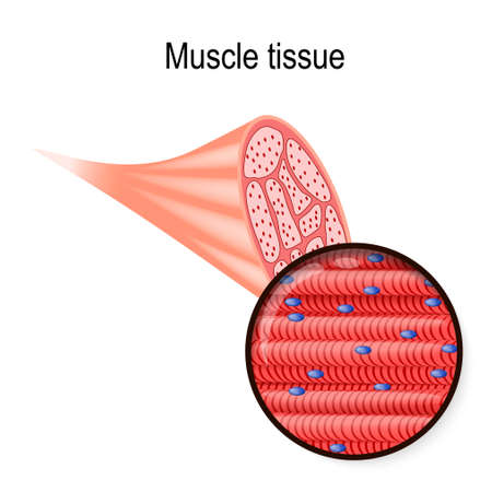 skeletal muscle. Tissue and fiber. Part of the biceps and close-up of muscle fibers. Vector illustration for biological, medical, science and educational use. Vector Illustration