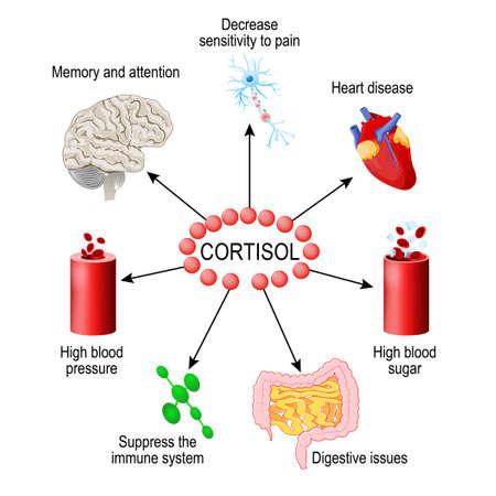 Hormone cortisol. fonctions dans le corps. C'est une hormone libérée en réponse au stress et à une faible concentration de glucose dans le sang. Système endocrinien humain. diagramme vectoriel à usage médical, éducatif et scientifique. Vecteurs