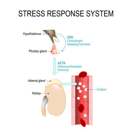 stress response system. fight-or-flight response is a physiological reaction that occurs in response to threat to life. vector diagram for medical, educational and scientific use. 일러스트