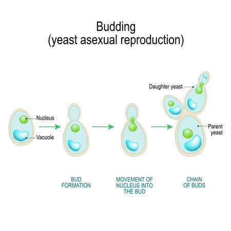 En ciernes. reproducción asexual de células de levadura. Corte transversal de células de hifas fúngicas (tabique; cicatriz de yema, vacuola). Diagrama vectorial para uso educativo, biológico y científico.