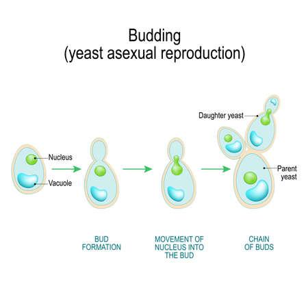 Knospung. asexuelle Vermehrung von Hefezellen. Querschnitt einer Pilzhyphenzelle (Septum; Knospennarbe, Vakuole). Vektordiagramm für pädagogische, biologische und wissenschaftliche Zwecke