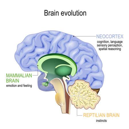 Evolución del cerebro. Cerebro trino: complejo reptiliano (ganglios basales para conductas instintivas), cerebro mamífero (tabique, amígdala, hipotálamo, hipocampo para sentir) y neocórtex (cognición, lenguaje, percepción sensorial y razonamiento espacial). Sección transversal del cerebro humano. Ilustración vectorial para uso médico, biológico, educativo y científico. Ilustración de vector