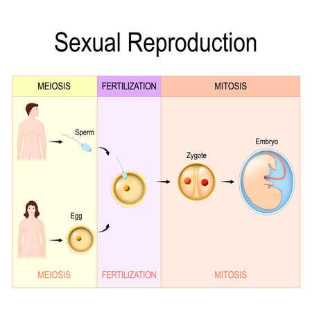 Reproducción sexual: meiosis, fecundación, mitosis. Ilustración vectorial para uso médico, biológico, educativo y científico. Ilustración de vector