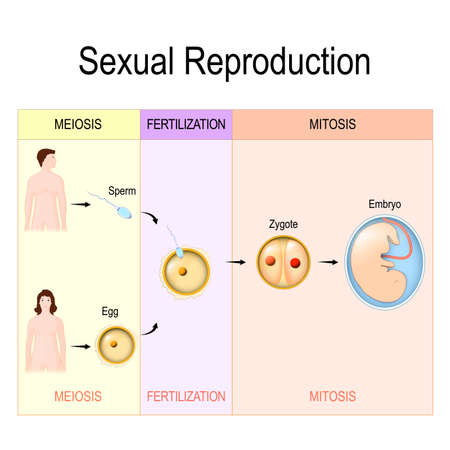 Sexual Reproduction: meiosis, fertilization, mitosis. Vector illustration for medical, biological, educational and science use