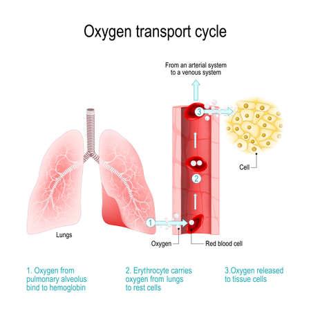 Ciclo di trasporto dell'ossigeno. Scambio di gas nei polmoni: l'ossigeno dagli alveoli polmonari si lega all'emoglobina nei globuli rossi; l'eritrocita trasporta l'ossigeno dai polmoni alle cellule di riposo. sistema arterioso e sangue venoso. Diagramma vettoriale per uso educativo, medico, biologico, chimico e scientifico
