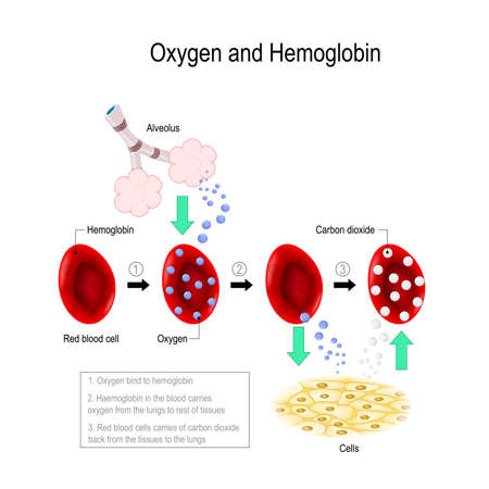 Oxygen bind to hemoglobin. erythrocyte carries oxygen from the lungs to rest of tissues. Red blood cells carries of carbon dioxide back from the tissues to the lungs. Vector diagram for educational, medical, biological and scientific use