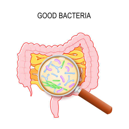 Gut flora. Human small intestine, colon and magnifying glass. Close-up of good bacteria: Lactobacillus, Bifidobacterium longum, Escherichia coli. Vector diagram for educational, medical, biological, and scientific use Stock Illustratie