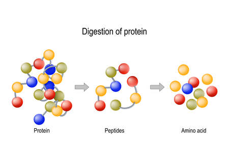 Vertering van eiwitten. Enzymen (proteasen en peptidasen) breken het eiwit door de spijsvertering in kleinere peptideketens en in afzonderlijke aminozuren, die in het bloed worden opgenomen.