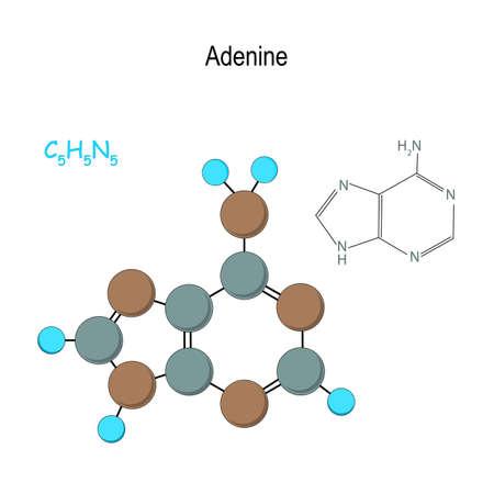 Adenine. Chemical structural formula and model of molecule. C5H5N5. Vector diagram for educational, medical, biological, and scientific use Standard-Bild - 122881726