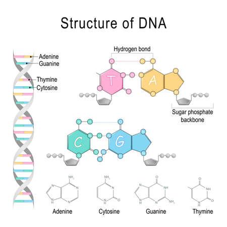 Estructura del ADN. Adenina, citosina, timina, guanina, esqueleto de fosfato de azúcar y enlace de hidrógeno. Diagrama vectorial para uso educativo, médico, biológico y científico. Ilustración de vector