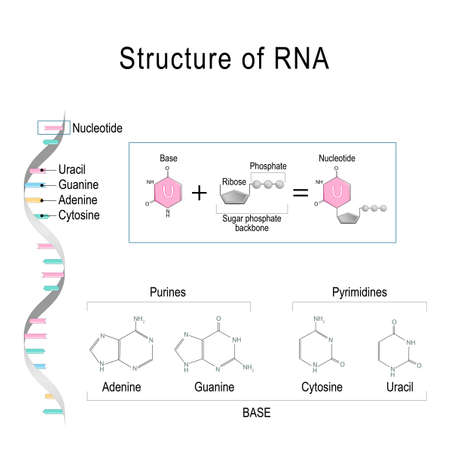 RNA structure. Adenine, Cytosine, uracil, Guanine, Ribose, Nucleotide, Pyrimidine, Purine, and Sugar phosphate backbone.  Vector diagram for educational, medical, biological, and scientific use Ilustrace