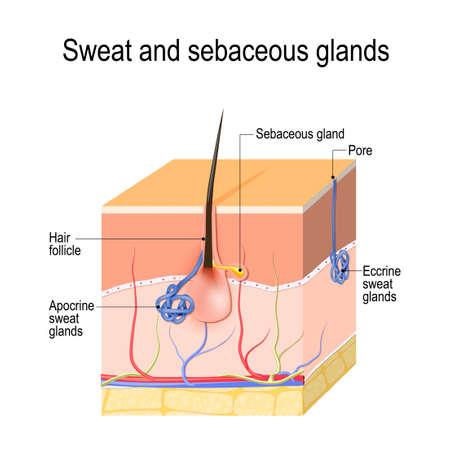 Glándulas sudoríparas (apocrinas, ecrinas) y glándulas sebáceas. Sección transversal de la piel humana con folículo piloso, vasos sanguíneos y glándulas. Diagrama vectorial para uso educativo, médico, biológico y científico.