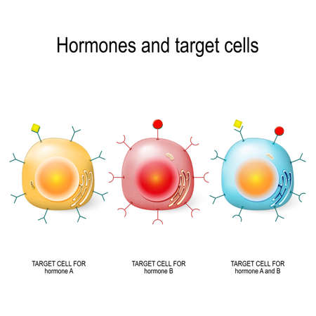 Hormone, Rezeptoren und Zielzellen. Jede Art von Hormon ist nur von bestimmten Zellen bestimmt. Diese Zellen haben Rezeptoren, die für ein bestimmtes Hormon spezifisch sind. Vektorillustration Vektorgrafik