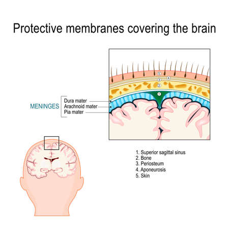 Protective membranes covering the brain. Meninges: Dura mater, Arachnoid, and Pia mater. Cross section of the human brain. Layers. Vector diagram for educational, medical, biological, and scientific use