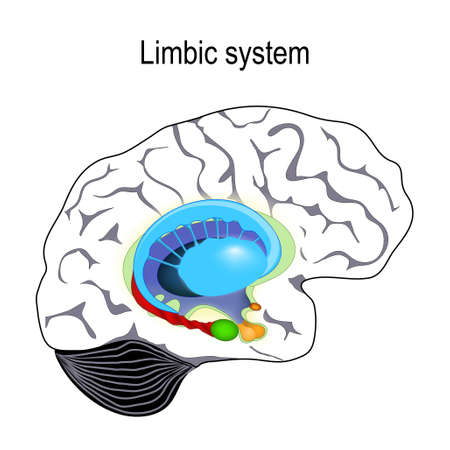 limbic system. Cross section of the human brain. Anatomical components of limbic system: Mammillary body, basal ganglia, pituitary gland, amygdala, hippocampus, thalamus, cingulate gyrus, corpus callosum, hypothalamus). Vector illustration for medical, biological, science and educational use