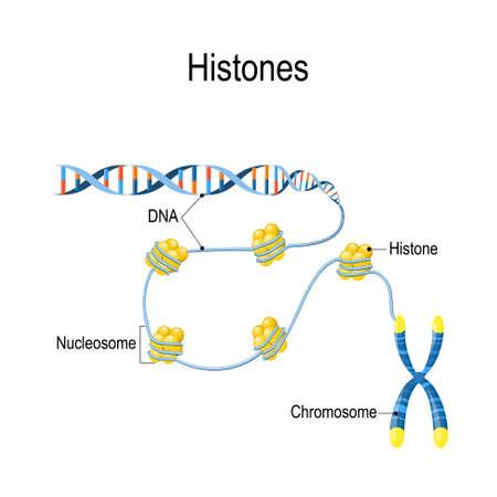 Histone. Die schematische Darstellung zeigt die Organisation und Verpackung von genetischem Material im Chromosom. Nukleosomen sind DNA, die um Histonproteine gewickelt ist. Vektordiagramm für pädagogische, biologische und wissenschaftliche Zwecke