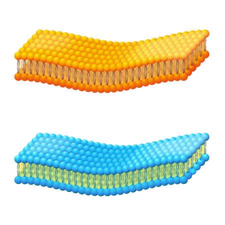 Membrane cellulaire. Un schéma détaillé de la membrane bicouche liposome sur fond blanc. Illustration vectorielle à usage éducatif, biologique, médical et scientifique