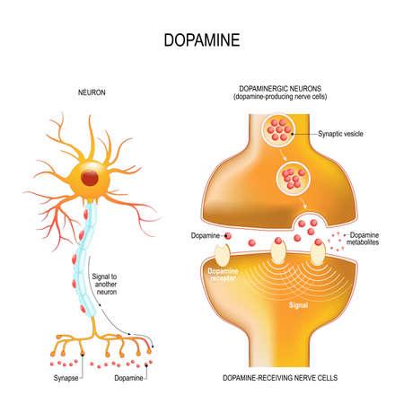 Dopamin. Nahaufnahme präsynaptisches Axonterminal, synaptischer Spalt und Dopamin-empfangende Nerven- und Dopamin-produzierende Zellen. Beschriftetes Diagramm. Vektorillustration für pädagogische, biologische, medizinische und wissenschaftliche Zwecke Vektorgrafik