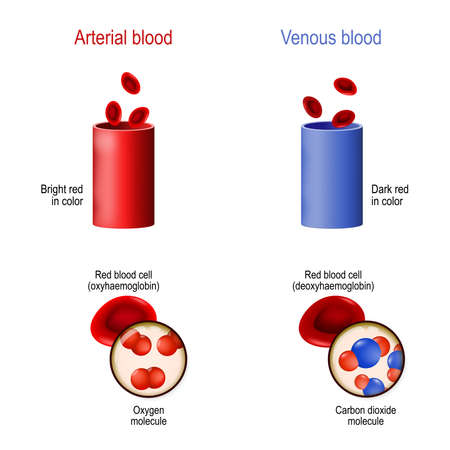 difference between venous and arterial blood. Two blood vessel (artery and vein), erythrocyte, molecules oxygen, and carbon dioxyde
