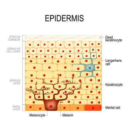 Epidermis layers. epithelial cells. Structure of the humans skin. Vector diagram for your design, educational, science and medical use