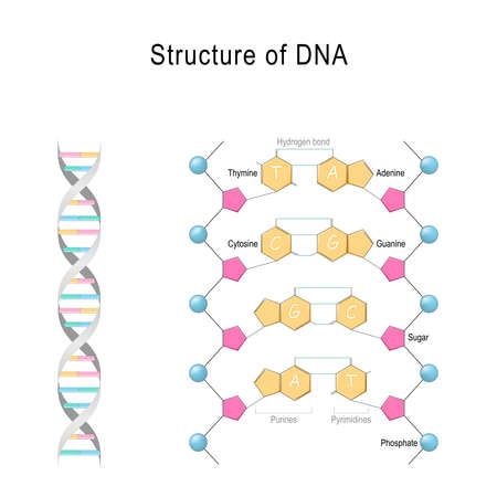 DNA structure. Vector diagram for your design, educational, science and medical use Reklamní fotografie - 128230647