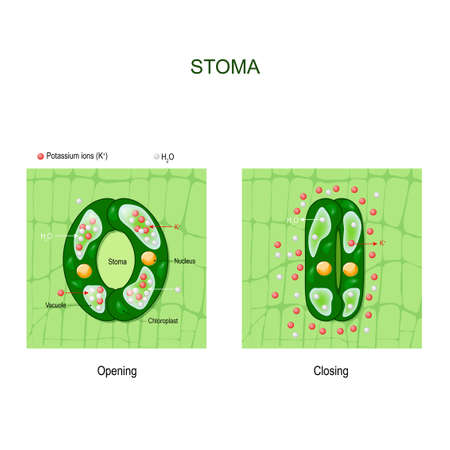 Opening and closing of stoma. anatomy of stomatal complex. Structure of stomate in a plant leaf. Vector diagram for educational, science and biological use