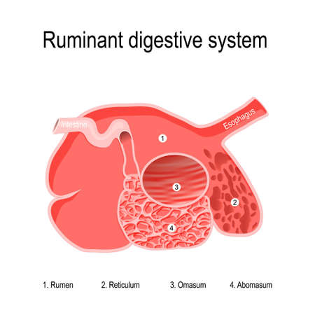 ruminant digestive system. feature of ruminants is the large ruminal storage capacity that gives them the ability to consume feed rapidly and complete the chewing process later. Ruminants' stomachs have four compartments: rumen — primary site of microbial fermentation; reticulum; omasum — receives chewed cud, and absorbs volatile fatty acids abomasum — true stomach. Vector diagram for your design, education, science and veterinary use