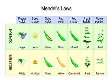 Mendel's Garden Pea Plant Experiment. Mendelian inheritance is a type of biological inheritance that follows the laws: Segregation, Independent Assortment and Principle of Dominance. Stock Illustratie